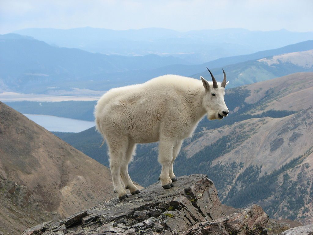 The sure goat is big, but is actually standing on Mount Massive, but hey, we love goat photos. Creative Commons licensed image from Wikimedia Commons