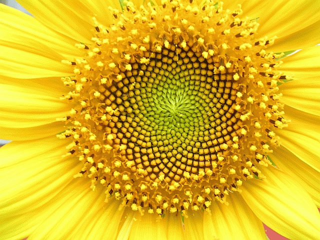 The patterns of Helianthus annuus aka sunflower demonstrate the natural occurrence of the Fibonacci numbers (Wikimedia Commons image)